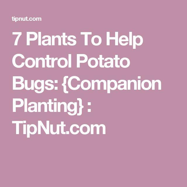 7 Plants To Help Control Potato Bugs: {Companion Planting} : TipNut.com