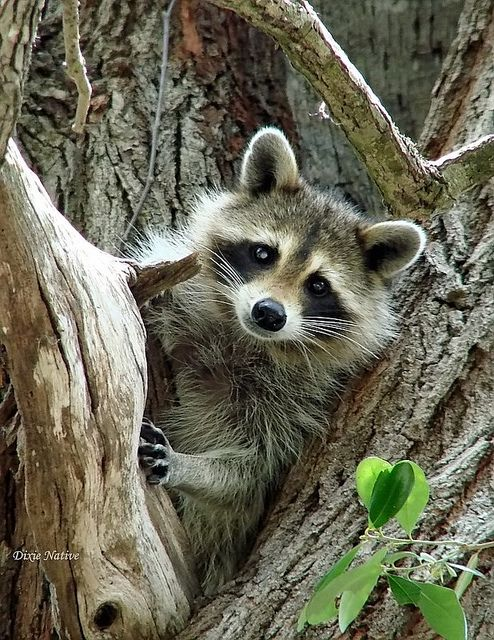 Raccoons are so clever, they wash their food before eating, break into doggie-doors, and raid garbage cans; but their adorable faces win over many friends . Others consider them 'pests' and, if you do not lock down your garbage can lids, you will have a mess in the morning.