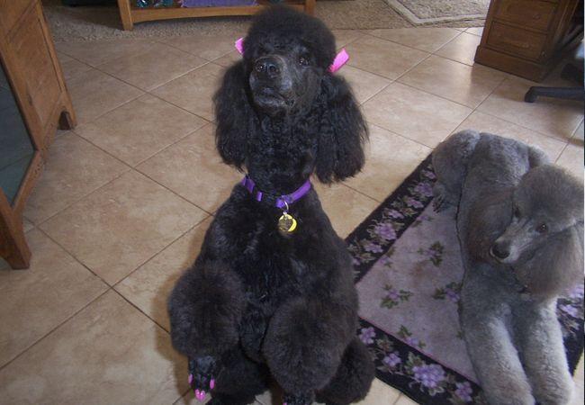 Standard Poodles For Sale | Parti Poodles - Standard Poodles For Sale San Diego Poodles