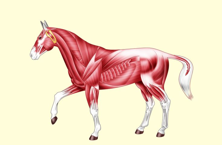 Ps Pferd