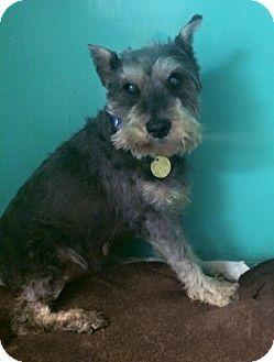 ★ Available 6/30/16 ★ Meet SHEILA ~ Oak Ridge, NJ - Second Chance Pet Adoption Legue, Schnauzer (Miniature) since 2/5/16. http://www.adoptapet.com/pet/14637594-oak-ridge-new-jersey-schnauzer-miniature