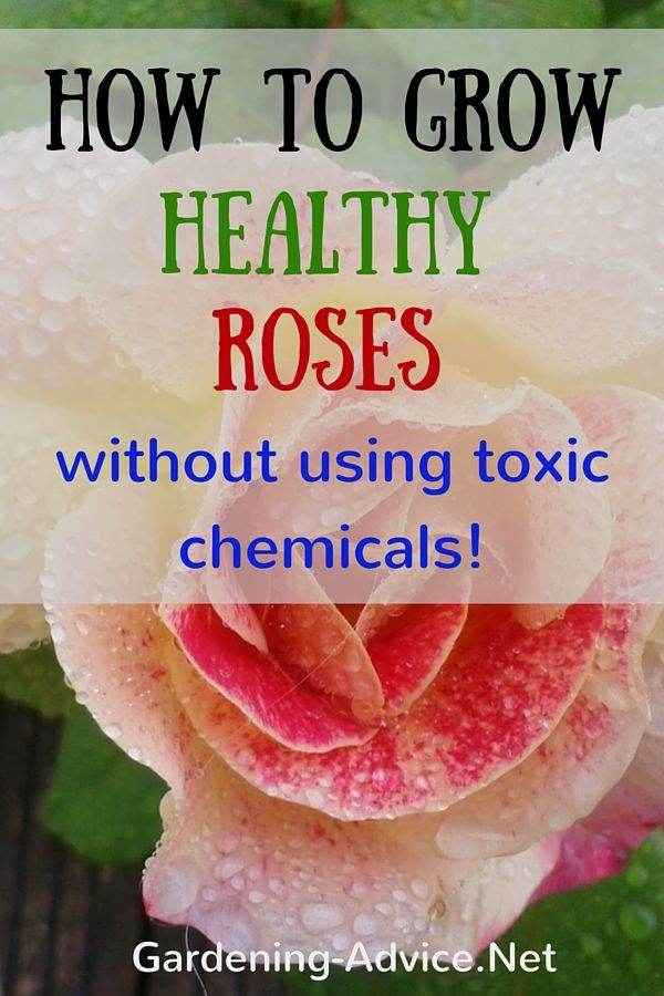 I know a lot of people that hesitate to plant roses because of the care and attention they supposedly need. Growing roses is commonly associated with having to spray non-stop for pests and diseases.  Let me tell you that this doesn't have to be the case.