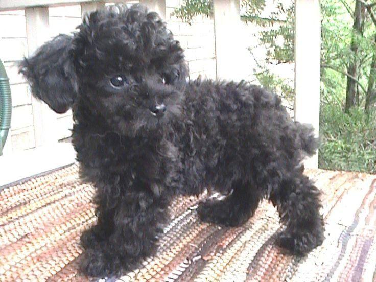 Cute Black Poodle Puppy