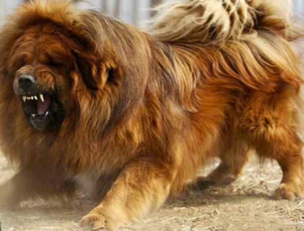 tibetan mastiffs | Not that Tibetan Mastiffs can't be docile pets too...