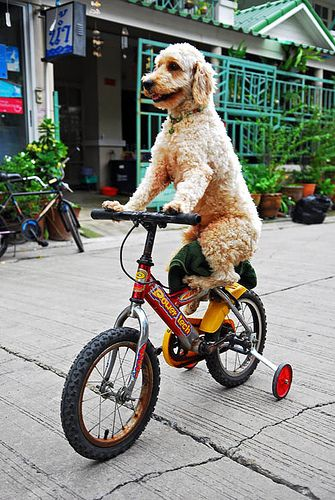 Poodle on bicycle