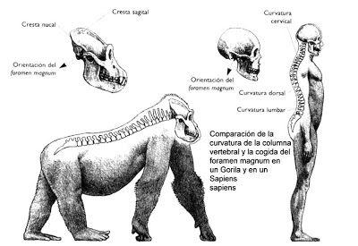 Las diferencias anatómicas entre los grandes simios y el ser humano se hallan restringidas sobre todo a las proporciones de las diferentes partes del cuerpo. Algunas de las características que distinguen a los simios del ser humano son:1) El encéfalo del ser humano mide de dos veces y media a tres, más que el del gorila (más aún cuando se toma en consideración la diferencia en el tamaño del cuerpo).