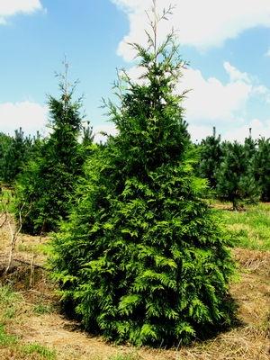 Thuja Plicata X Standishii Green Giant Arborvitae