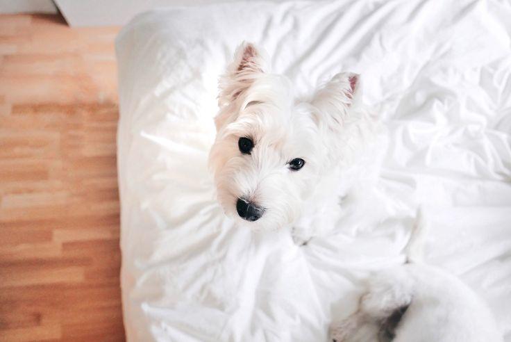 Westie in bed allll weekend | Follow The Westie Besties on Instagram http://www.instagram.com/thewestiebesties | #westie #westies #westiegram #weeklyfluff #dailywestie