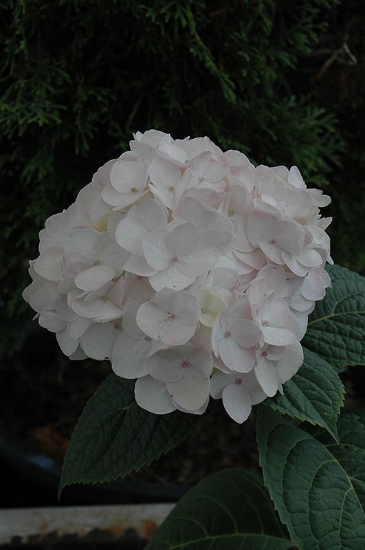 Blushing Bride Hydrangea (Hydrangea macrophylla 'Blushing Bride') at Stein's Garden & Home