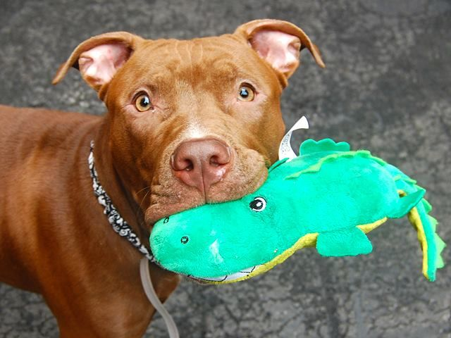 SAFE 10/28/14!  Was TO BE DESTROYED 10/18/14. Manhattan Center -P  My name is HAYES. My Animal ID # is A1015298. I am a male chocolate and white am pit bull ter mix. The shelter thinks I am about 1 YEAR 1 MONTH old.  For more information on adopting from the NYC AC&C, or to  find a rescue to assist, please read the following: http://urgentpetsondeathrow.org/must-read/