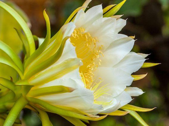 Een cactus bloem genaamd de Koningin van de nacht