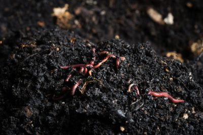 Worm Bed Benefits: Learn About Worm Beds In Gardens Have you ever thought of raising earthworms? Not as pets, but as a way to enrich your garden soil. Worm beds in gardens are not difficult to make and can help you get more out of your kitchen waste and compost. This article will help get you started.
