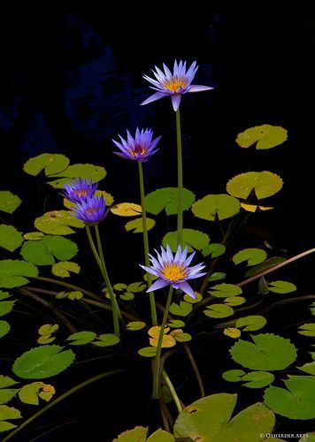 Water Lily (Nymphaea)- purity of heart