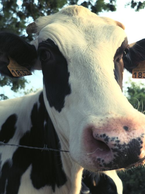 Sweet faced cow