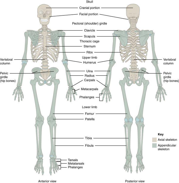 SEER Training:Axial Skeleton (80 bones) | Pilates | Pinterest ...