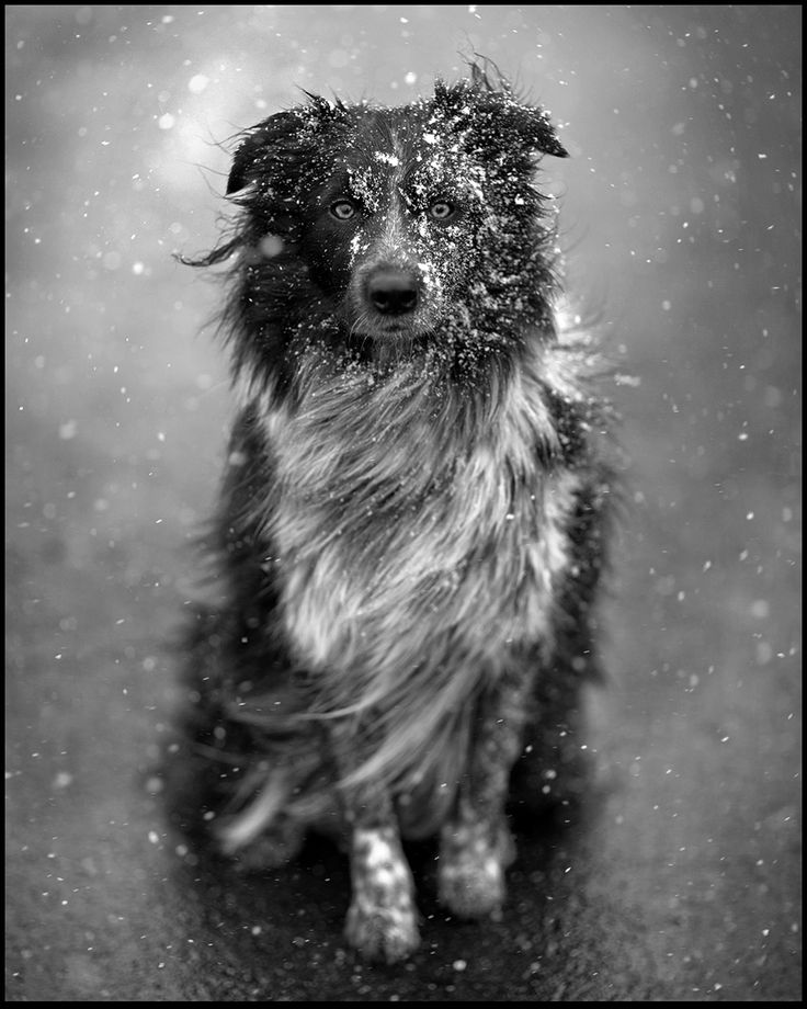Amazing shot of an aussie/border collie in the swirling snow.