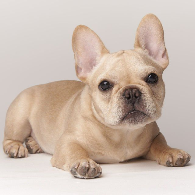 Cream Frenchie