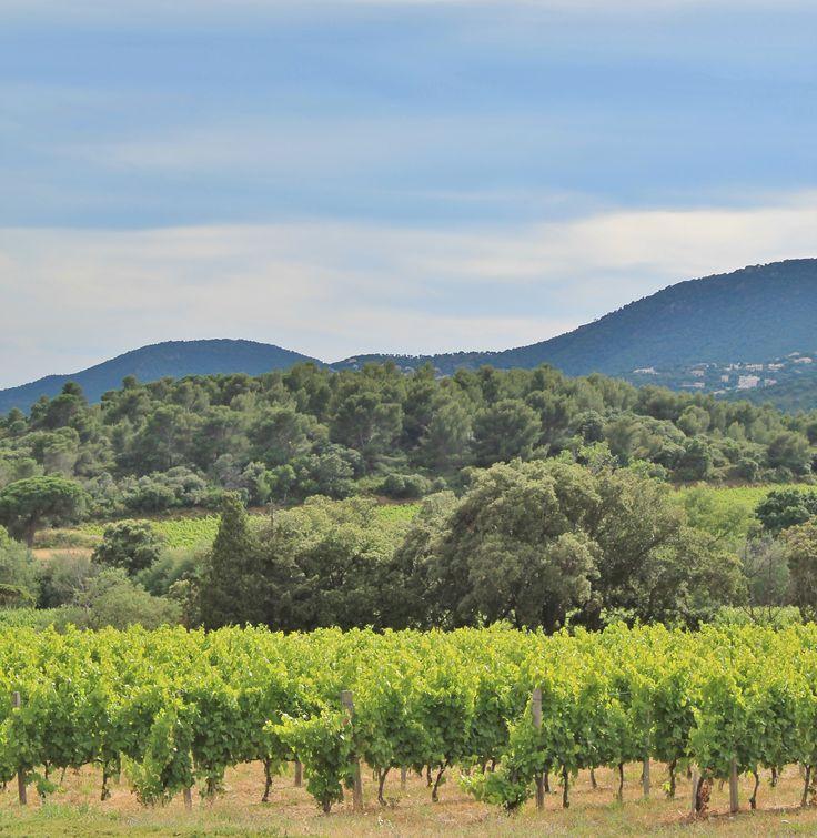 Vignoble - Cavalaire Sur Mer - Provence - France