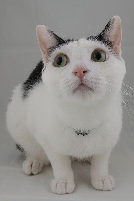 how to get a bobtail cat