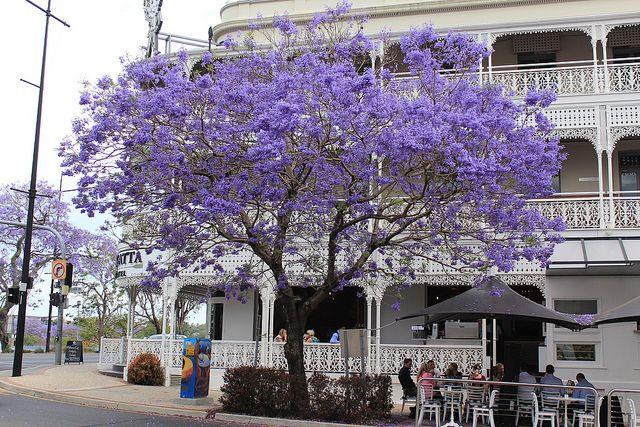 Jacaranda outside the Regatta, Brisbane