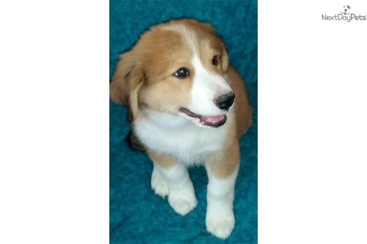 Bernesepyrenees cross mixedother puppy for sale near