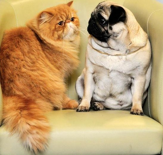 Two of my favorite things...pugs and orange cats.
