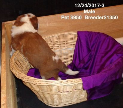 Litter of 4 Saint Bernard puppies for sale in IMPERIAL, MO. ADN-61781 on PuppyFinder.com Gender: Male. Age: 3 Weeks Old