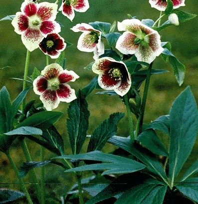 HELLEBORUS: The genus Helleborus covers a group of perennial plants from Europe and Asia. Virtually all are garden worthy, though the acaulescent (stemless) hybrids have become the most popular forms