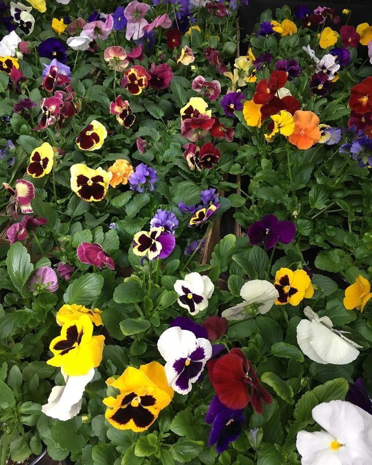 Just delivered this truckload of #pansies to the Butler Farm Market... ready to celebrate this first weekend of spring:) #bloomerygrown #butlerfarmmarket #springflowers #signsofspring