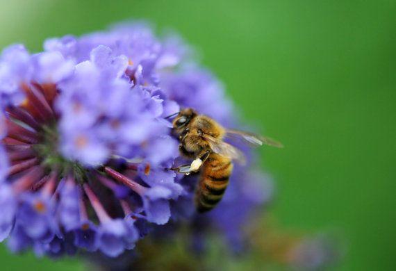 over 150 Seeds buddleia davidii bees di HoneyTreeandBehind su Etsy