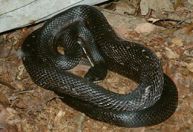 Black Rat Snake Information Amp Facts Snakes Pinterest