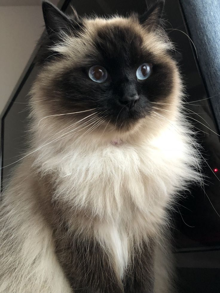 Available Cats Specialty Purebred Cat Rescue Purebred cats