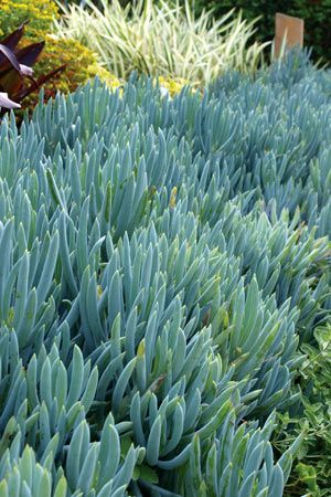 Senecio Serpens (via Diggers) This ground cover is one of the most valuable landscaping succulents. Planted en-masse, it creates a dense rippling mat of compact silver-blue leaves that flow between other succulents and shrubs like a turquoise river. Once established, few weeds can penetrate the dense foliage making this plant practical as well as attractive.   This ground cover is one of the most valuable landscaping succulents. Planted en-masse, it creates a dense ...