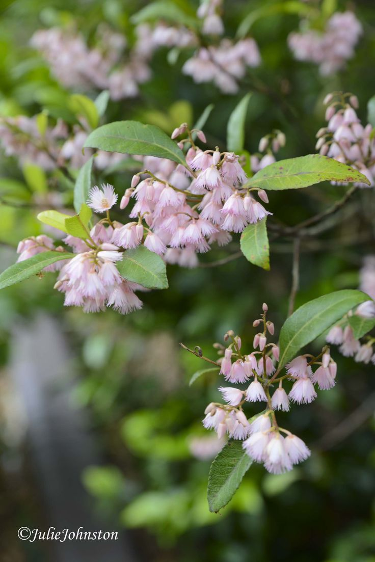 Flowering Blueberry Ash Tree