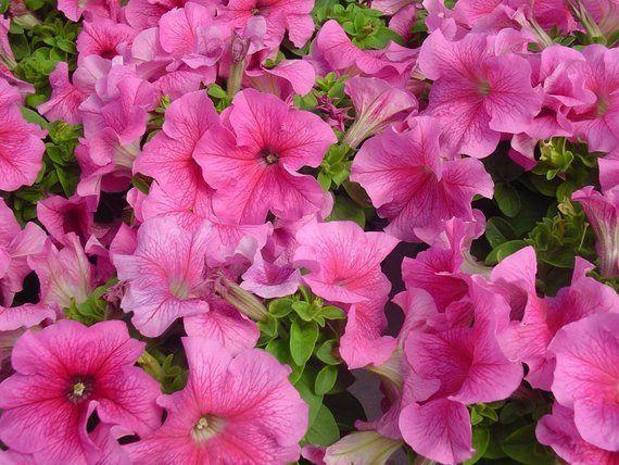 Bulk Flower Seeds For Sale Limbo Rose Vein 1000 Pelleted Etsy Flower Seeds Seeds For Sale Flowers