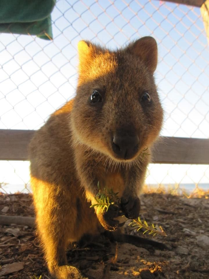 Best Quokkas Images On Pinterest - 15 photos that prove quokkas are the happiest animals in the world