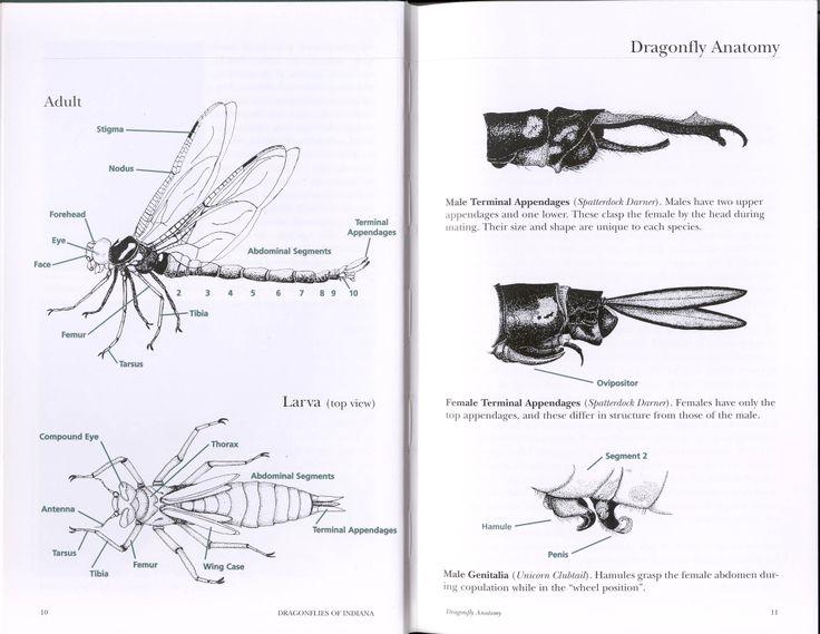 Dragonfly anatomy diagram