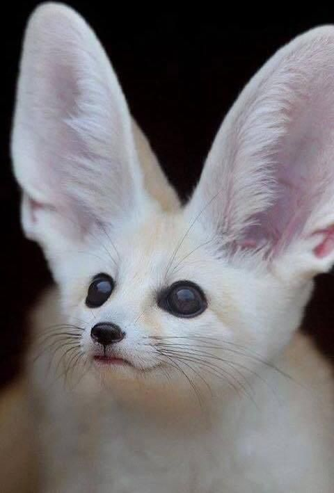 Fennec fox.. - Pixdaus Adorable