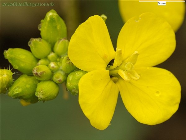 9 best yellow flowers 4 petals images on pinterest yellow flowers charlock flower sinapis arvensis mightylinksfo Choice Image
