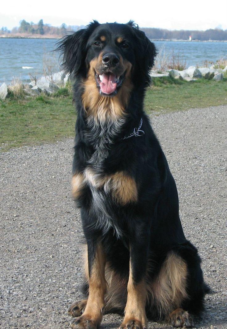 Great Dane and Burnese Mtn. dog mix.