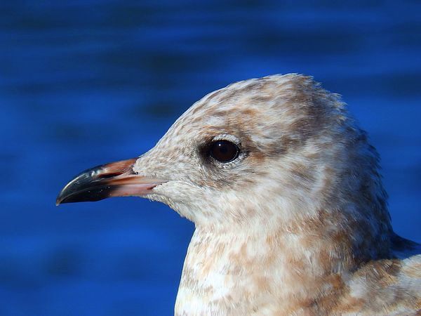 Gaze by Zinvolle - A young ring-billed gull was enjoying a quiet autumn day by the ocean.