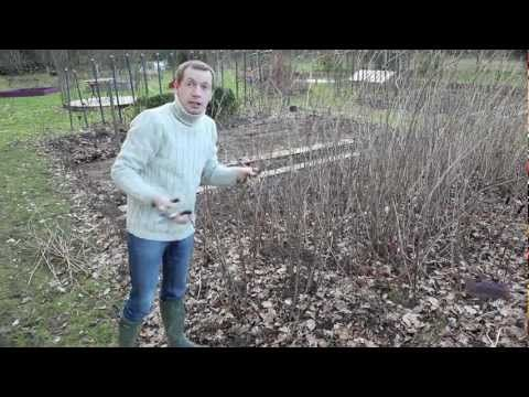 Comment tailler des framboisiers dans son jardin? rasperry cutting (french video)