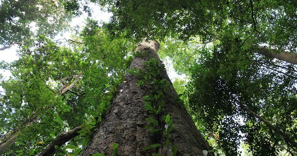 Africa's tallest tree discovered towering on continent's highest mountain | MNN - Mother Nature Network