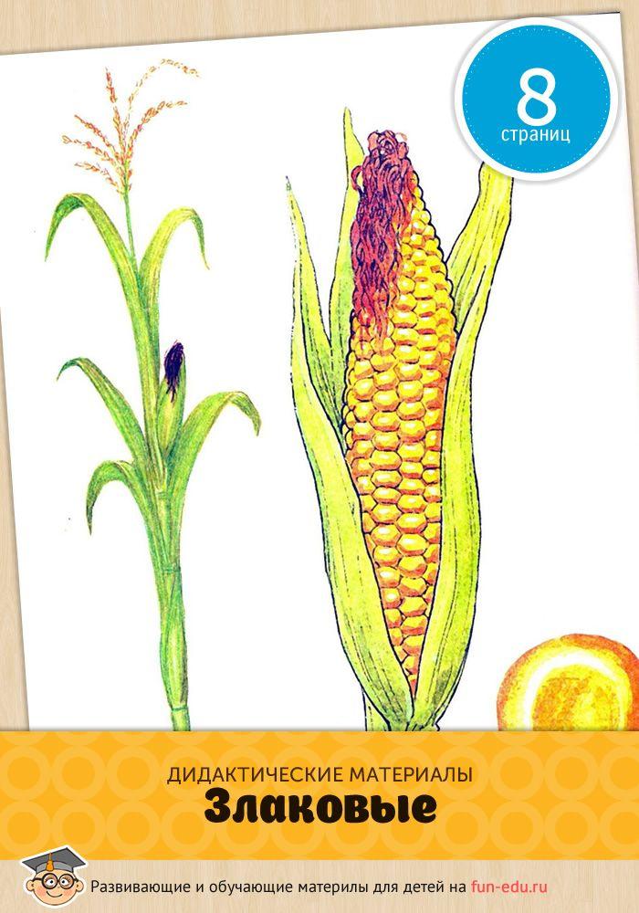 Картинки злаковых культур помогут вашему ребенку расширить кругозор и больше узнать о продуктах питания. Удачного обучения!