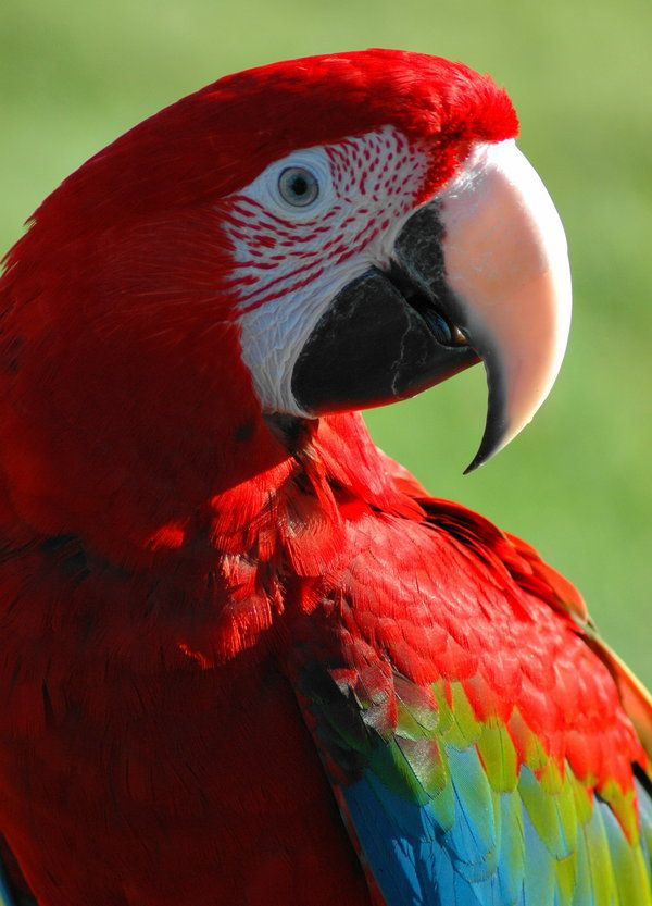 KOKI, Green Wing Macaw, Parrot.  I adopted her when she was 12 yrs old. She loved me and I loved her.