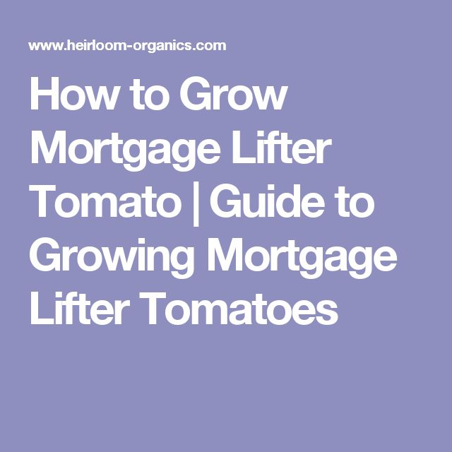 How to Grow Mortgage Lifter Tomato | Guide to Growing Mortgage Lifter Tomatoes