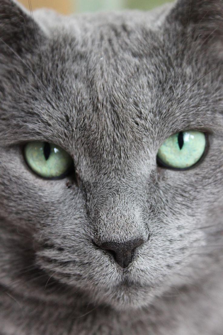 80 best Russian blue images on Pinterest