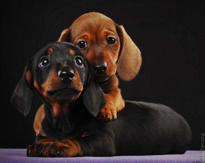 I Love Dachshunds two baby daschunds hug...