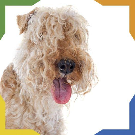 El Lakeland Terrier es una raza originaria del Distrito de los Lagos de Inglaterra. Pertenece a la familia de los terriers. Es un perro de tamaño pequeño a mediano. Su carácter es independiente, intrépido, valiente y seguro de sí mismo Es un perro alegre y juguetón con su amo y miembros de la familia pero protector, cauteloso y reservado con los extraños. Es considerado un perro hipoalergénico (pierde poco pelo).