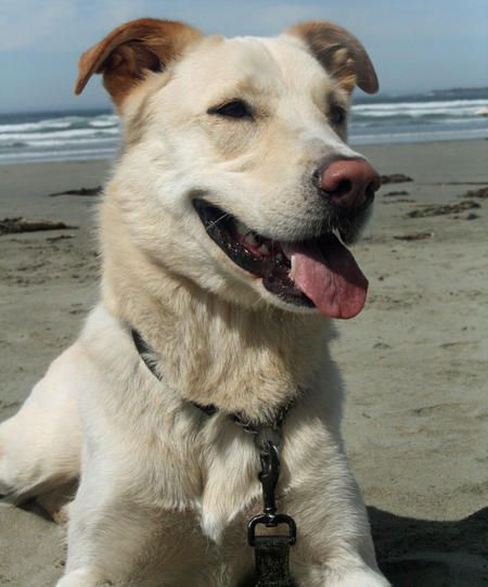 Yellow Lab Siberian Husky Mix